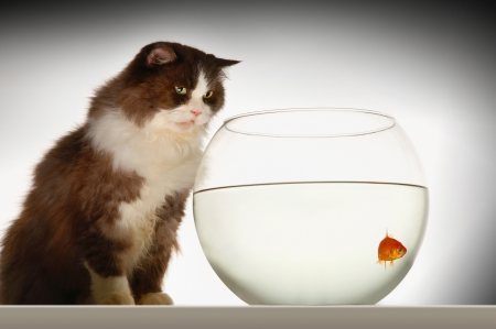fishtank: Cat sitting looking at goldfish in fishbowl side view LANG_EVOIMAGES