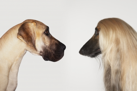 afghan: Great Dane and Afghan hound sitting face to face