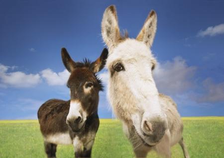 cropped off: Donkeys in Field