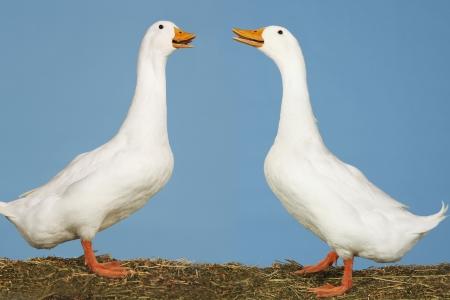 conversational: Geese