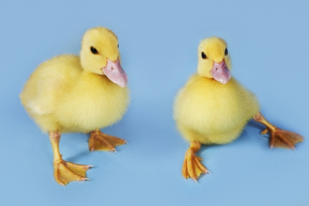 clumsiness: Yellow Chicks
