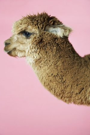 Baby Llama Stock Photo - 18897903