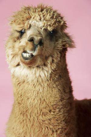 meanness: Baby Llama
