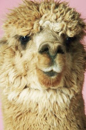 aggressively: Bambino Llama LANG_EVOIMAGES