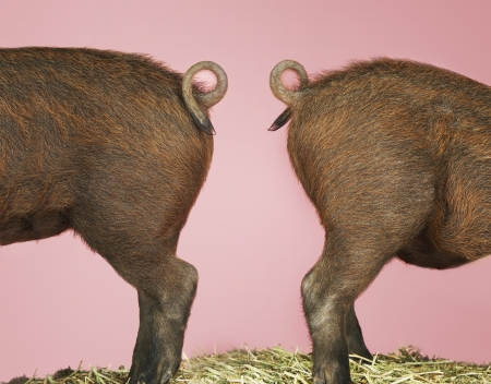 Two Piglets' Backsides Stock Photo - 18897921