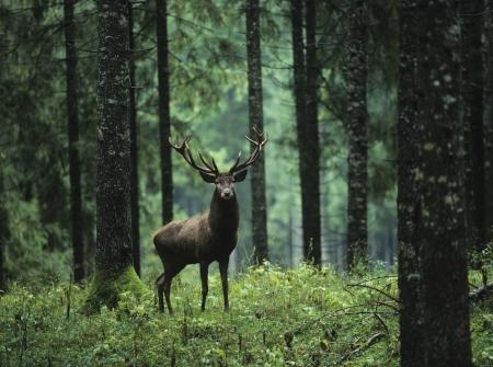 glades: Red deer stag in forest LANG_EVOIMAGES