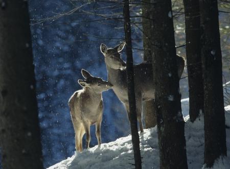 baby deer: Red deer doe with cub LANG_EVOIMAGES