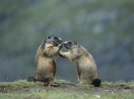 nagging: Two Marmots