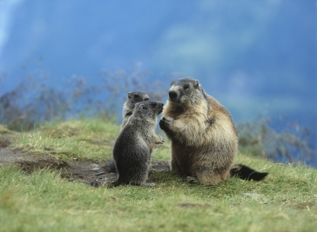 nagging: Marmot with young