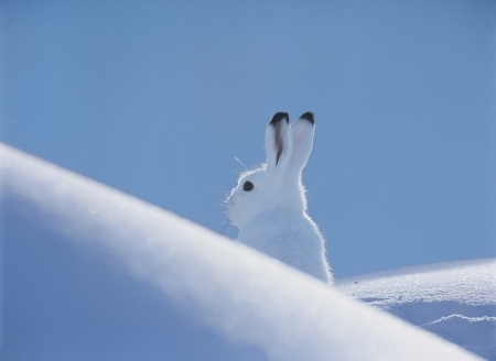 europe closeup: Arctic hare LANG_EVOIMAGES