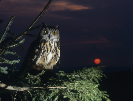 bird watching: Eagle owl perching on Tree Branch