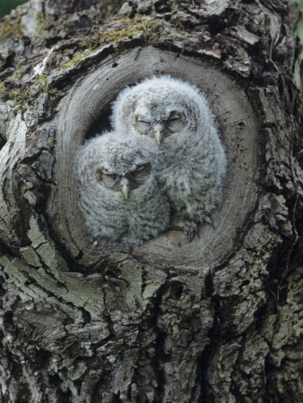 owlet: Two owlets in tree knot LANG_EVOIMAGES