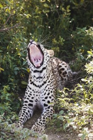 panthera pardus: Leopard (Panthera pardus) lying in bushes yawning LANG_EVOIMAGES