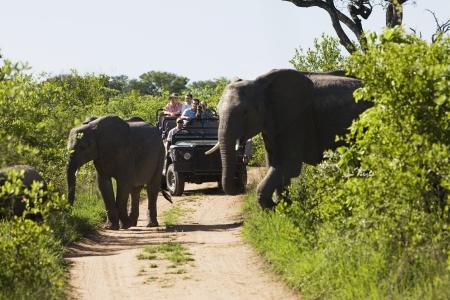 animales safari: Dos elefantes cruzando la carretera jeep con turistas en el fondo