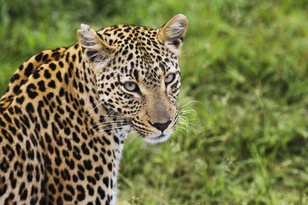panthera pardus: Close-up of leopard (Panthera pardus) looking at camera