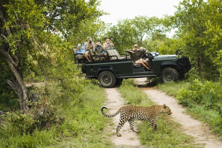 jeep: Leopard (Panthera pardus) crossing road tourists in jeep in background
