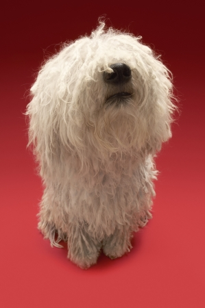 woolley: Cute Komondor dog on red background