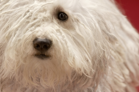woolley: Cute Komondor dog close-up LANG_EVOIMAGES