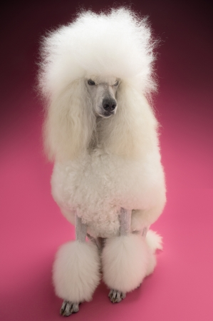 White Poodle on pink background Stock Photo - 19521883