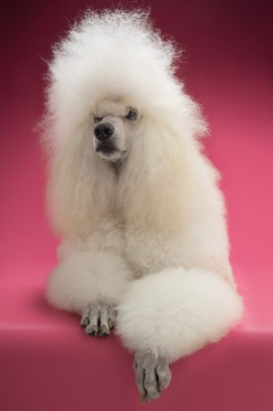 White Poodle on pink background Stock Photo - 19521884