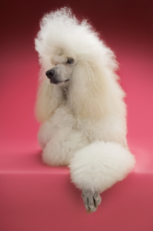 White Poodle on pink background Stock Photo - 19521885