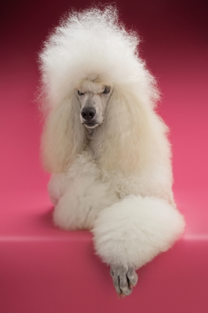 White Poodle on pink background Stock Photo - 19521886