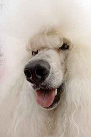 White Poodle close-up Stock Photo - 19546303