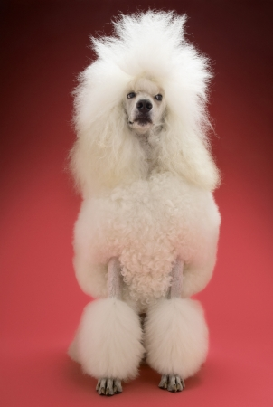 White Poodle on pink background Stock Photo - 19521887