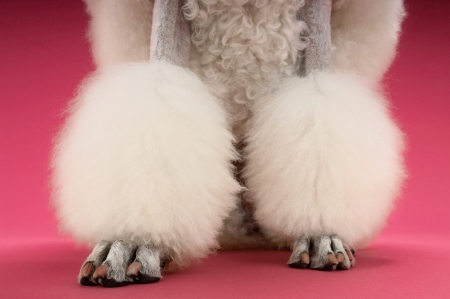 woolley: White Poodle on pink background low section LANG_EVOIMAGES