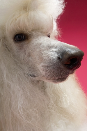 White Poodle looking away close-up Stock Photo - 19546306