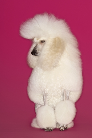 White Poodle on pink background Stock Photo - 19546309