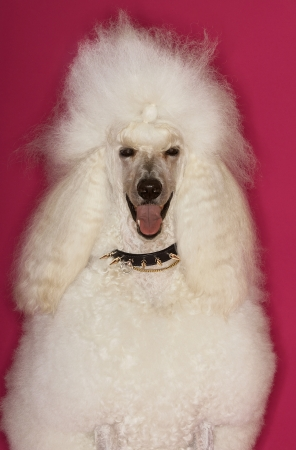 White Poodle on pink background Stock Photo - 19546310