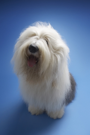 Sheepdog on blue background Stock Photo - 19546317