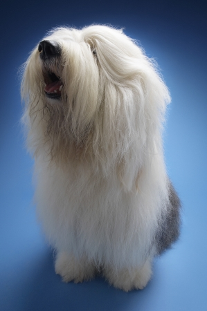 woolley: Sheepdog on blue background LANG_EVOIMAGES