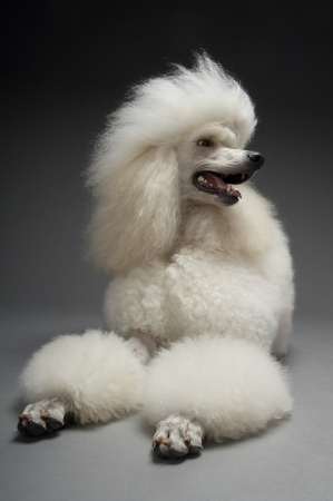 canid: White Poodle