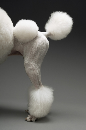 woolley: Haunches of Poodle on grey background