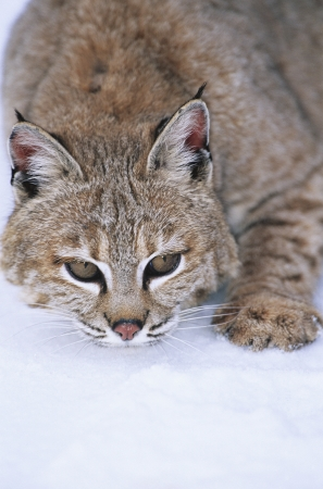 Wild cat lying in snow