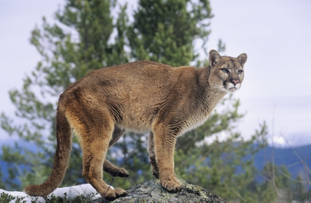 lion tail: Mountain Lion standing on rock LANG_EVOIMAGES