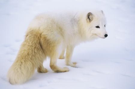 arctic fox: Arctic Fox in snow