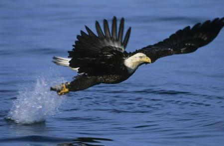 Bald Eagle vangen van vis in de rivier
