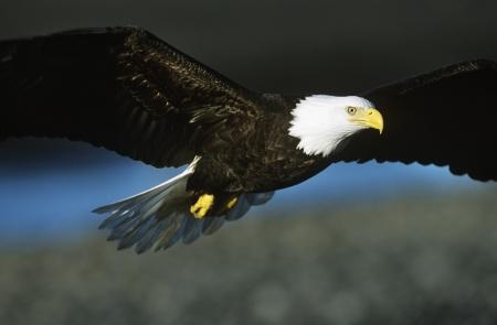 bald eagle: �guila calva en vuelo