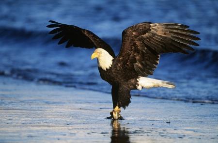 aguila calva: Águila calva captura de peces en el río LANG_EVOIMAGES