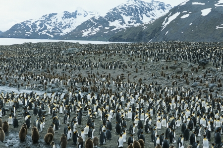 penguin colony: Large colony of Penguins