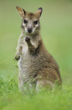 joey: Joey Kangaroo in grass