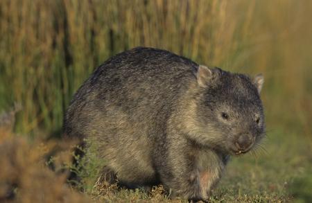 wombat: Wombat en el campo LANG_EVOIMAGES
