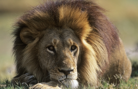Male Lion lying on savannah Stock Photo