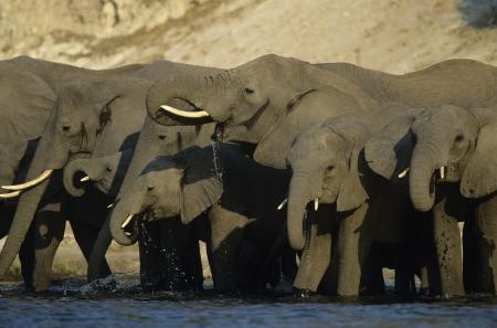 pozo de agua: Los elefantes africanos (Loxodonta Africana) en la charca