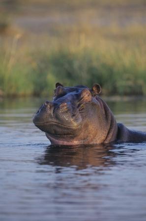 waterhole: Hippopotamus (Hippopotamus Amphibius) bathing in waterhole