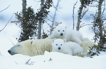 polar bear on the ice: Polar Bear cubs with mother in snow Yukon