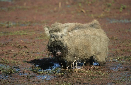 wallowing: Warthog in mud